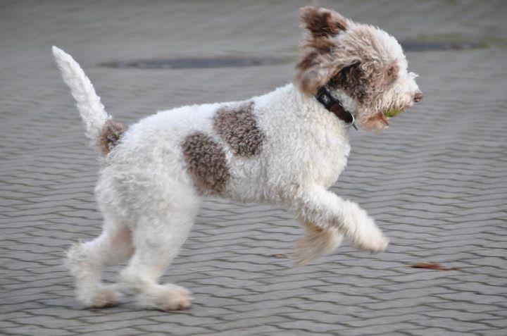 hund med krullig päls