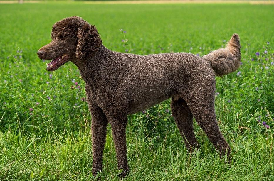 hund med kort hår