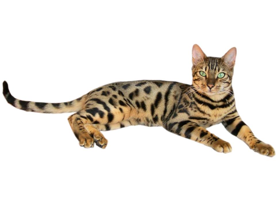 Allergivänlig Katt – Vi listar 10 allergivänliga kattraser!