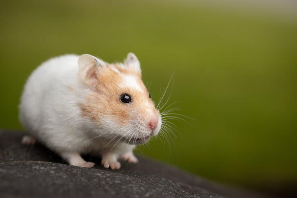Hur länge lever en hamster?