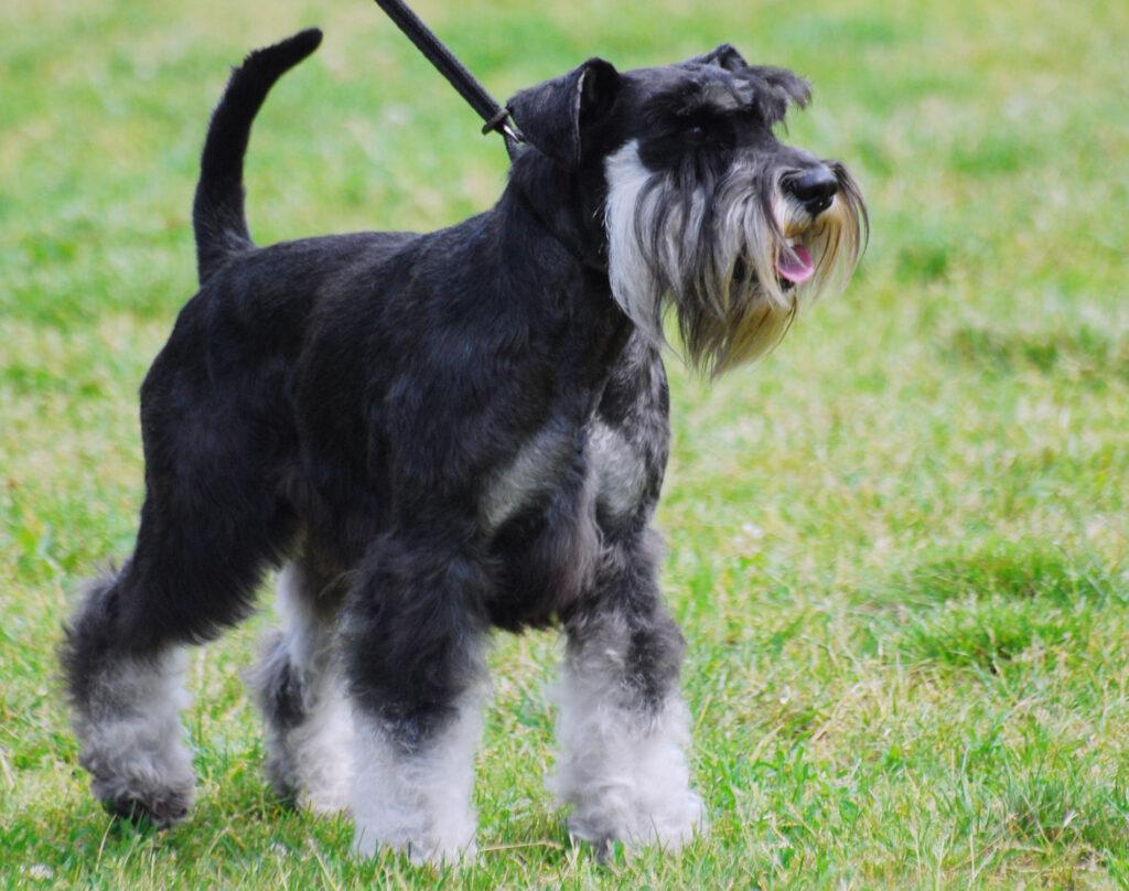nybörjarhund